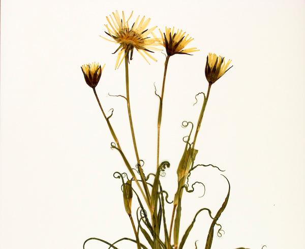Tragopogon-pratensis-orientalis