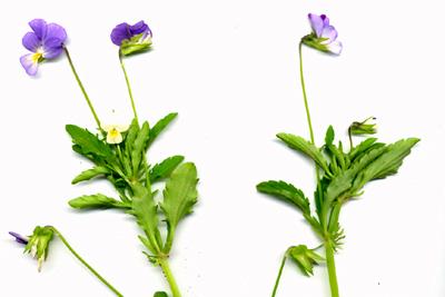 Viola-arvensis