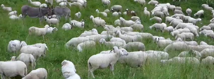 banner-pecore
